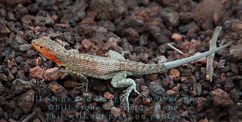 Female Lava Lizard-Isla Santa Cruz-Galapagos