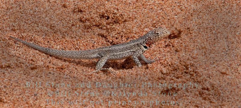 Male Lava Lizard-Bartolome Island-Galapagos 2