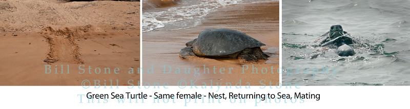 Green Sea Turtle Sequence-Bartolome Island-Galapagos