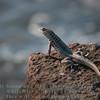 Male Lava Lizard-Santiago Island-Galapagos