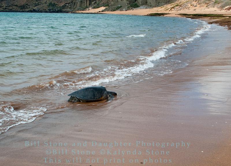 Green Sea Turtle comes ashore to lay eggs-Bartolome Island-Galapagos