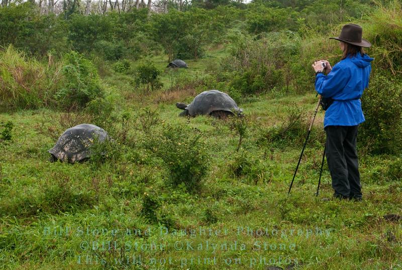 Among the Wild Galapagos Giant Tortoises-Isla Santa Cruz-Galapagos 3