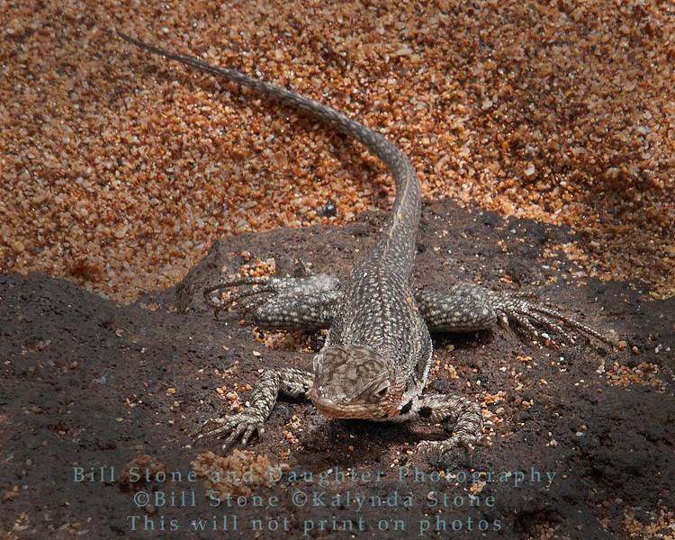 Male Lava Lizard-Bartolome Island-Galapagos 3