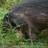 Wild Galapagos Tortoise feeding-Isla Santa Cruz-Galapagos 3