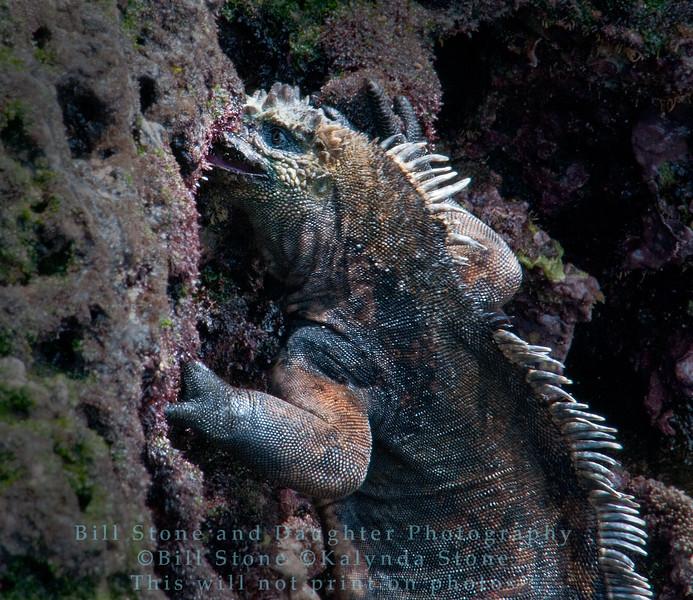 Marine Iguana feeding-Bartolome Island-Galapagos 2