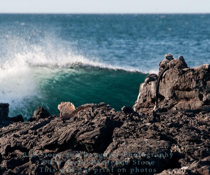 Marine Iguanas on rock with waves-Santiago Island-Galapagos 1