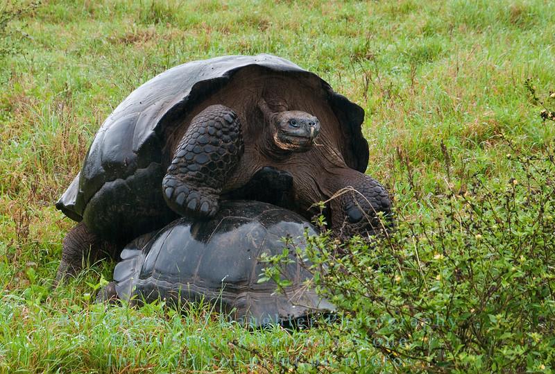 Mating Wild Galapagos Tortoises-Isla Santa Cruz-Galapagos