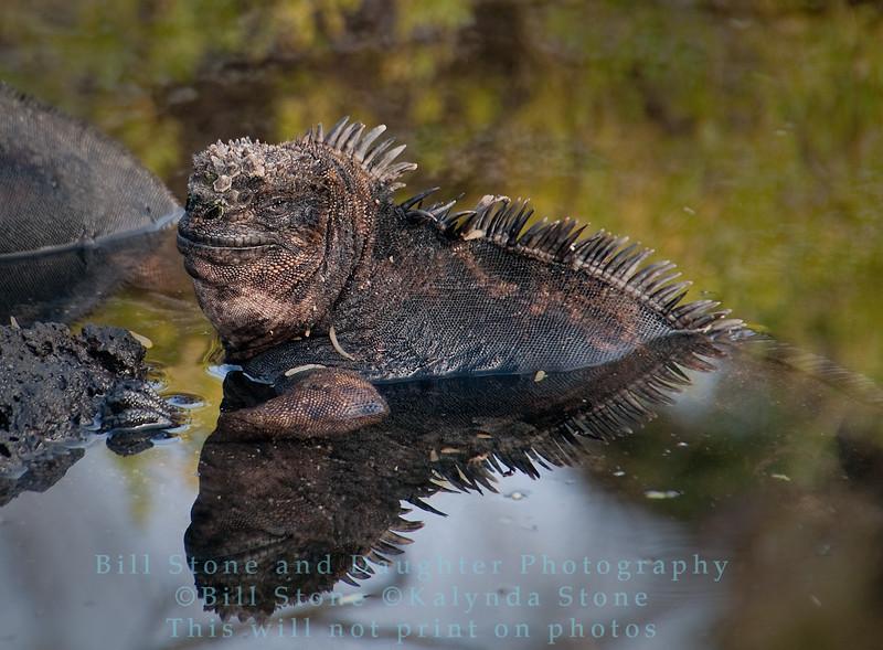 Marine Iguana-Cerro Dragon-Galapagos 1