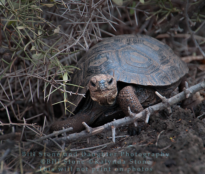 Galapagos Tortoise-Darwin Research Station-Isla Santa Cruz-Galapagos 1