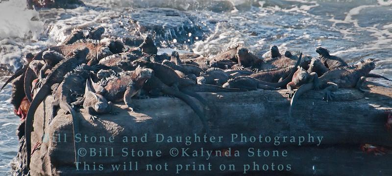 Sunning Marine Iguanas-Santiago Island-Galapagos 2