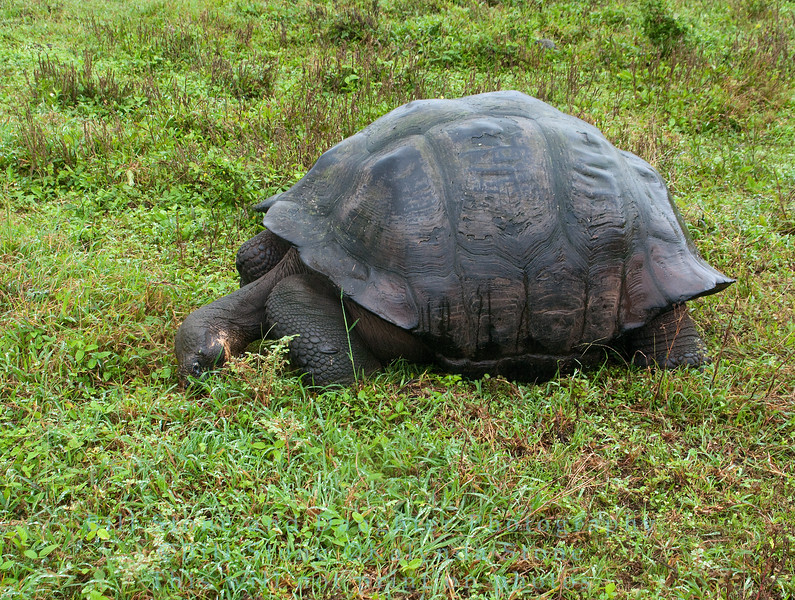 Wild Galapagos Tortoise feeding-Isla Santa Cruz-Galapagos 5