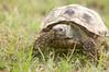 Tortoise_LAJ6984