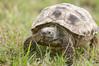 Tortoise_LAJ6988
