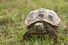 Tortoise_LAJ6996