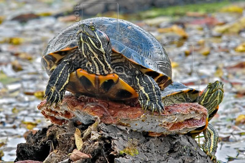 Red-Eared Slider Turtles,<br /> Brazos Bend State Park
