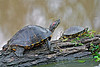 Red-Eared Slider Turtles,<br /> Brazos Bend State Park, Texas
