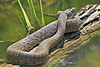 Green Watersnake (nerodia cyclopion),<br /> San Bernard Wildlife Refuge, Texas