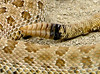 Prairie rattlesnake, Crotalus viridis, Colorado (1)