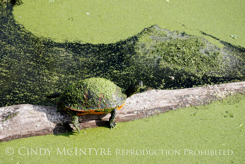 Turtles with duckweed, Green Cay FL (2)