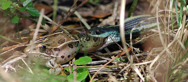 Garder Snake grabs frog by the leg