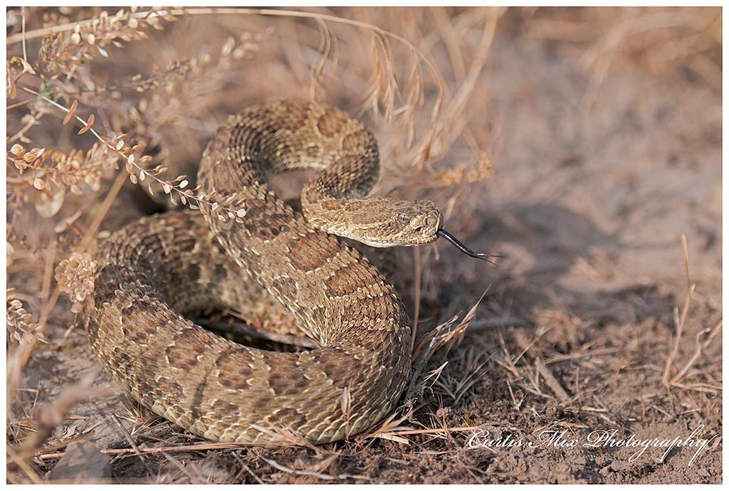 Prairie Rattlesnake, Montana.