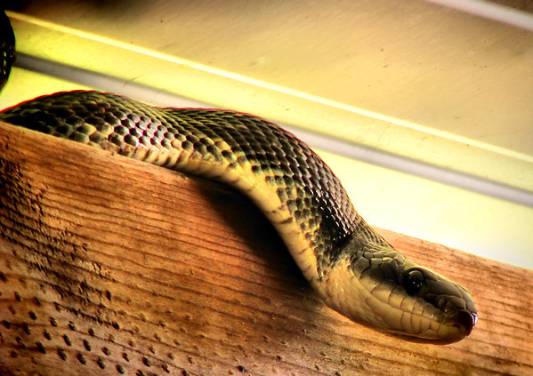 Close-up of a Texas rat snake (Elaphe obsoleta lindheimeri) climbing atop a wall (20140424_10069)