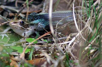 Garder Snake devours frog