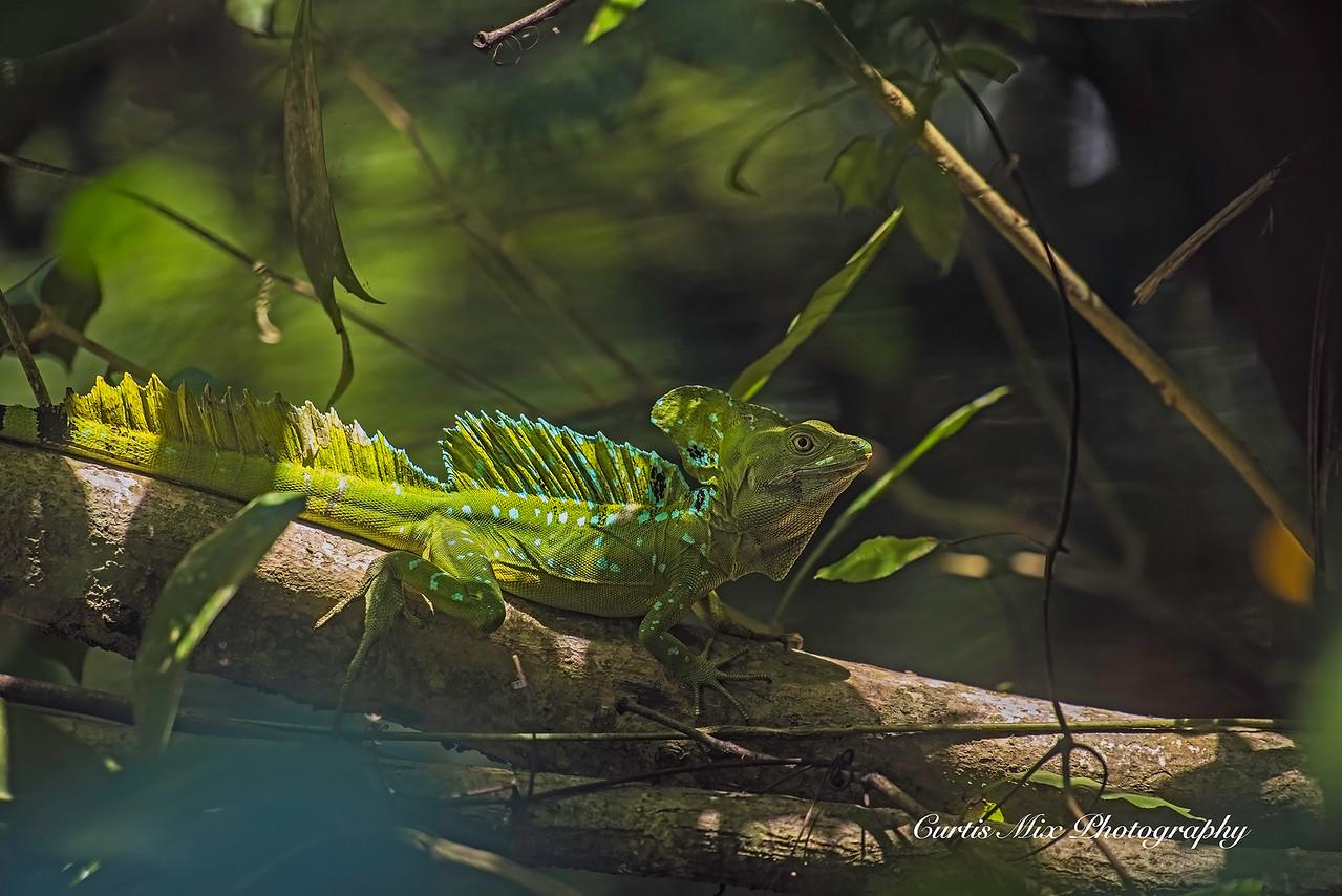 Green Basalisk, Cahuita, Costa Rica.