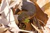 Northern Water Snake, CVNRA, 4/21/2008