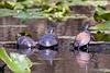Turtles-5