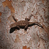 Lizard at El Dorado Park Nature Center - 28 Aug 2011
