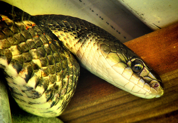 Close-up of a Texas rat snake (Elaphe obsoleta lindheimeri) climbing atop a wall (20140424_10101)