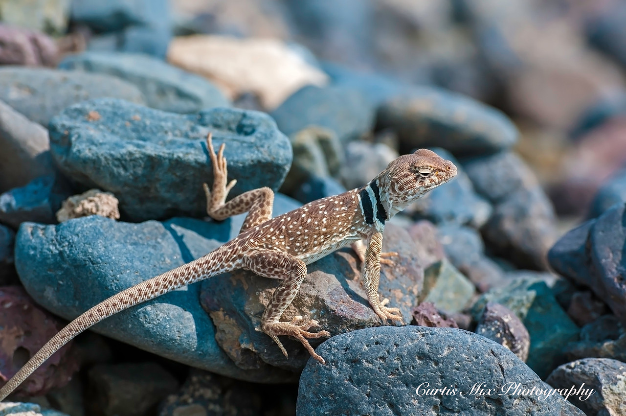 Collard Lizard, Nevada.