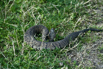 Cottonmouth Water-moccasin can sometimes be difficult to see on the ground.  This one saw me coming and coiled up ready to strike.  He was on the hiking trail at Barker Reservois, George Bush Park on a warm April morning.