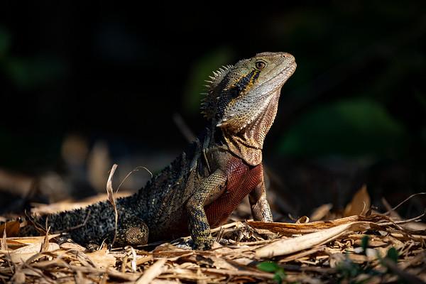 Eastern water dragon, Male