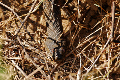 Water snake sunning himself on a cool November day