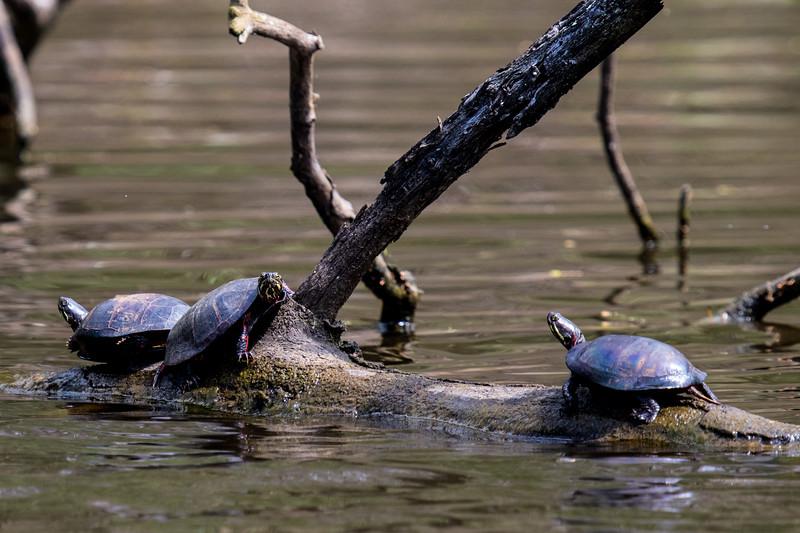 Turtles-15