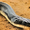 "<a href=""http://xenogere.com/put-on-your-faces-texas-rat-snake/"" title=""put on your faces - texas rat snake"">Blog entry</a>"
