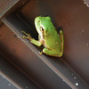 Squirrel Tree Frog (Hyla squirella).