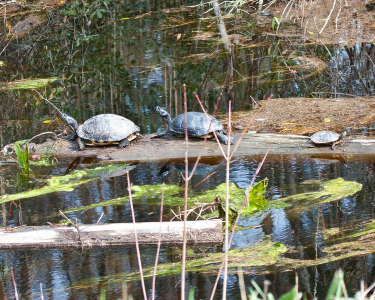Turtle trio on a log