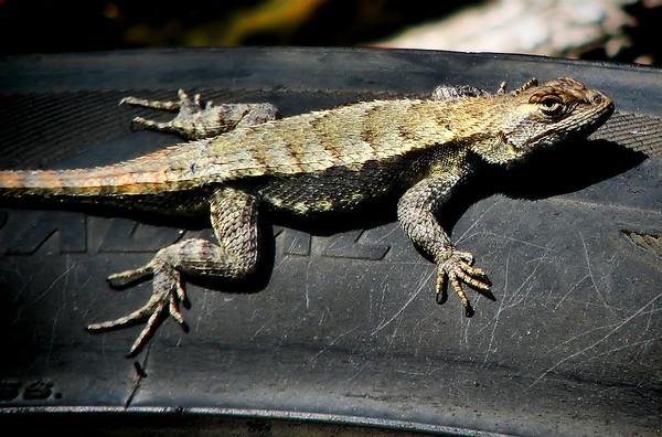 Texas spiny lizard (Sceloporus olivaceus) (20140408_09881)
