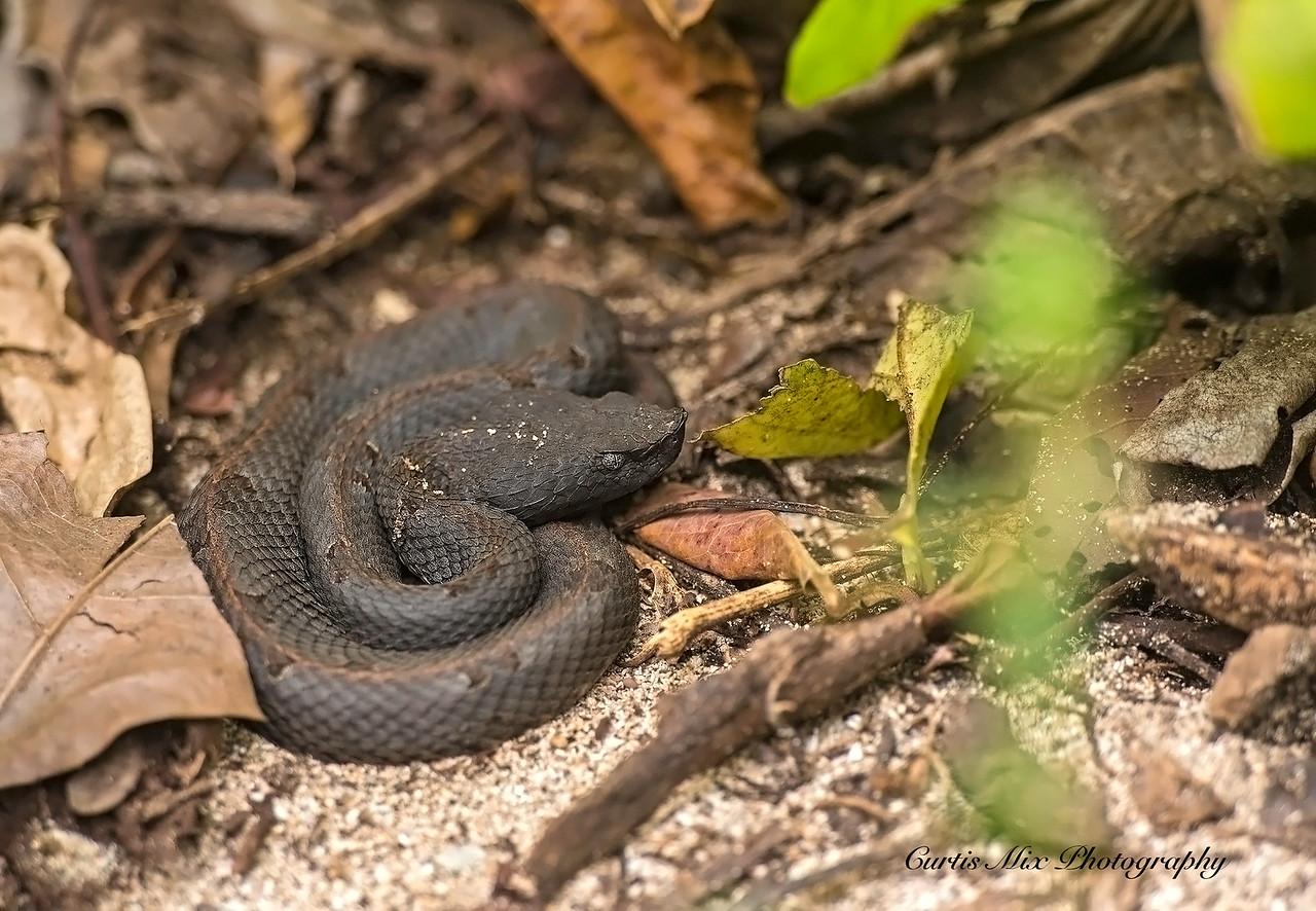 Hog-nosed Viper, Cahuita, Costa Rica.