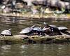 Turtles-21