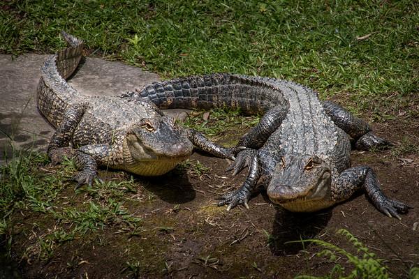 Freshwater Crocs