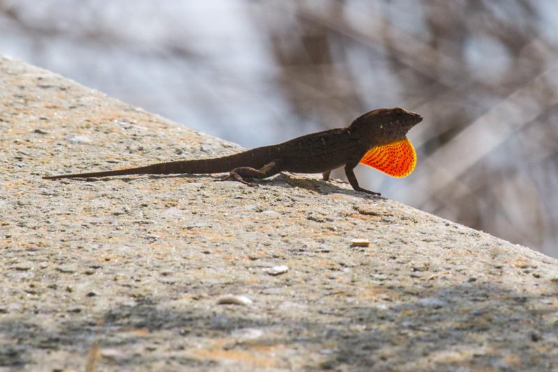 Lizard 0317-2