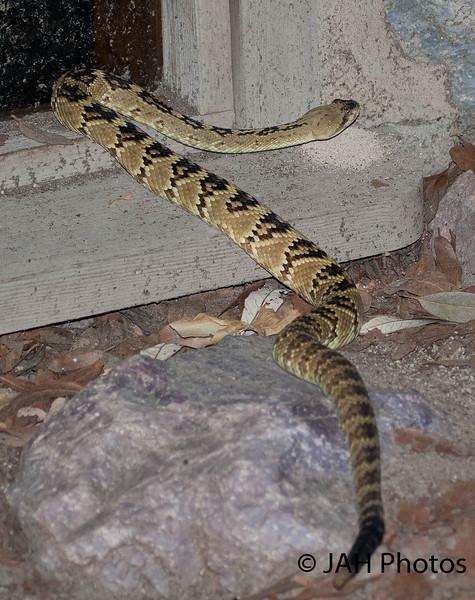 Black-tailed Rattlesnake in Madera Canyon