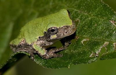 treefrog_2a_npn__0893