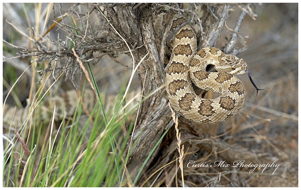 Pacific Great Basin Rattlesnake, Eastern Oregon.