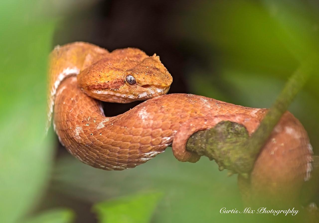 Eyelash Viper, Cahuita, Costa Rica.