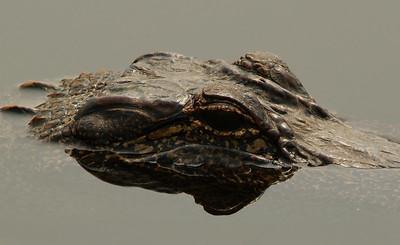 American Aligator - Brazos Bend State Park